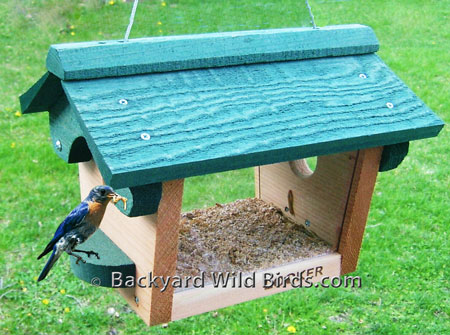 male mealworm sialis feeder bluebird eastern footage on feeders of clip a sialia video shutterstock stock
