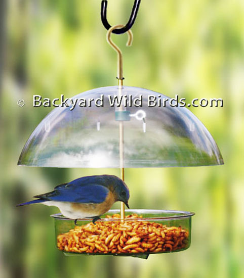water htm western sdbluebirds diet food at killebrew for mealworm bluebirds cm and bluebird feeder feeders by