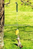 Squirrel Bungee Corn Feeder